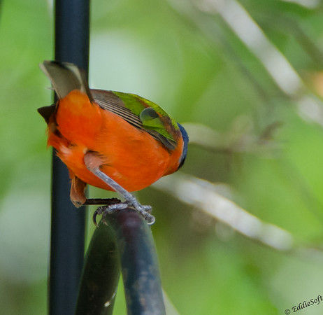 Painted Bunting found at Skidaway Island State Park, Savannah GA, May 2015