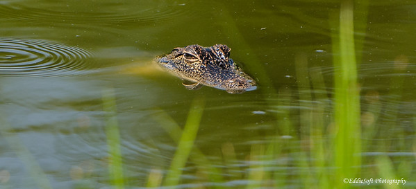Alligator found at Harris Neck Wildlife Refuge outside Savannah Georgia, May 2015
