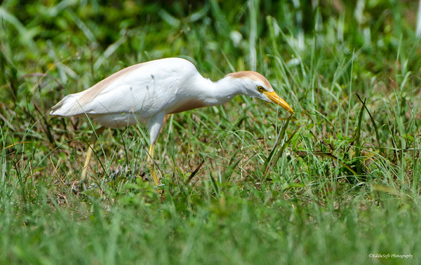 Cattle Egret found at Harris Neck National Wildlife Refuge outside Savannah Georgia May 2015