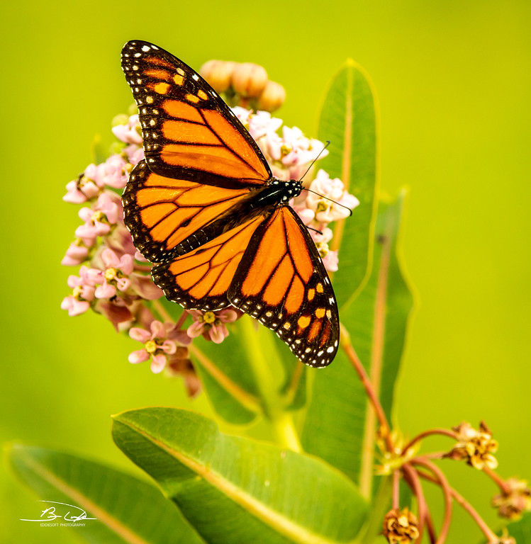 Monarch found at Rollins Savannah, Grayslake, IL in August 2021