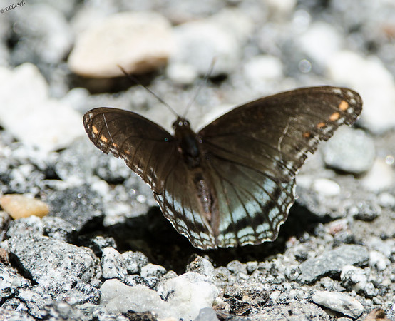 Butterfly found at Biltmore Mansion in Asheville NC in July 2014
