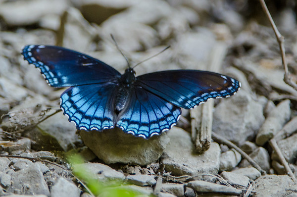 Butterfly found on Georgia trip in May 2015