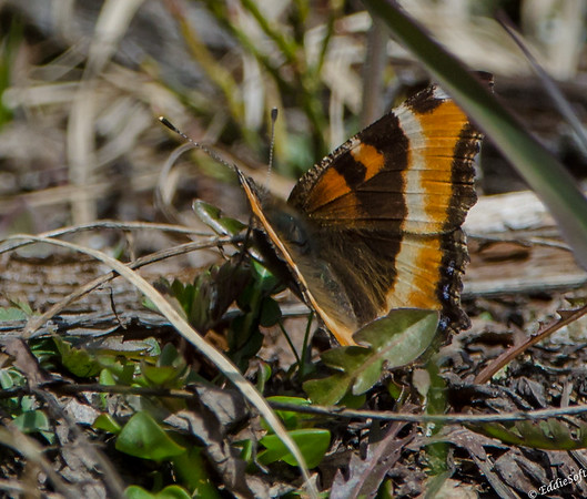 Butterfly found at Rocky Mountain National Park May 2014