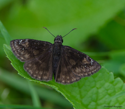 Butterfly from Clinton Lake June 2014