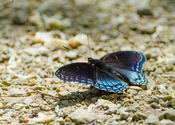 Butterfly from Chain O' Lakes State Park, Spring Grove IL June 2017