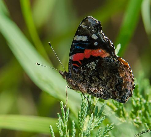 Butterfly found at International Crane Foundation July 2013