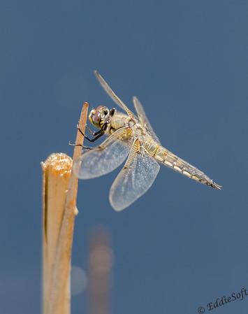Dragonfly at Denver Botanical Gardens May 2015