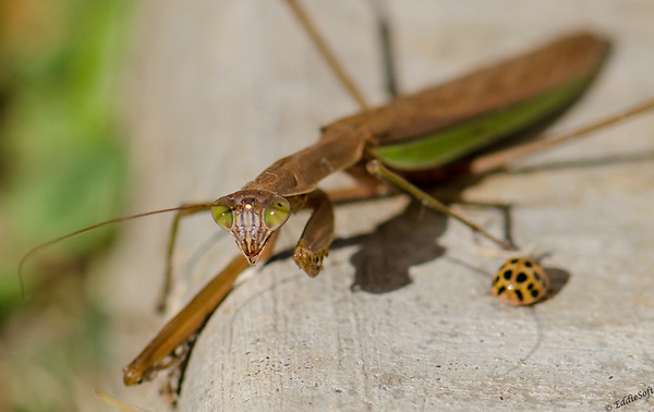 Praying Mantis shot at house October 2014