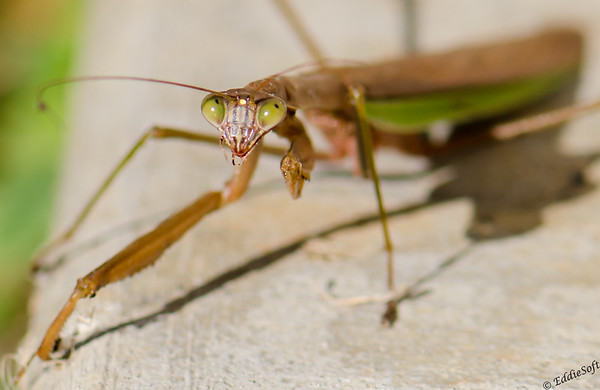 Praying Mantis shot at house October 2014
