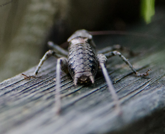 Shield-Backed Katydid shot in the Great Smoky Mountains National Park back in July 2014