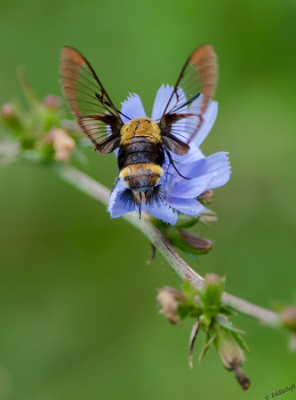 Snowberry Clearwing shot at Jubilee College State Park in August of 2014