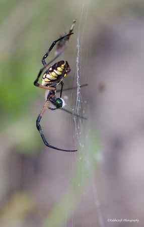 Black and Yellow Garden Spider found on lot in Brimfield IL, September 2016
