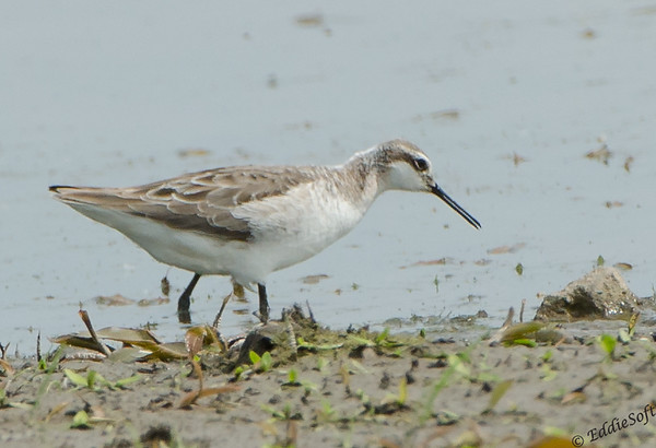Wilson's Phalarope found at Emiquon National Wildlife Refuge in May of 2018