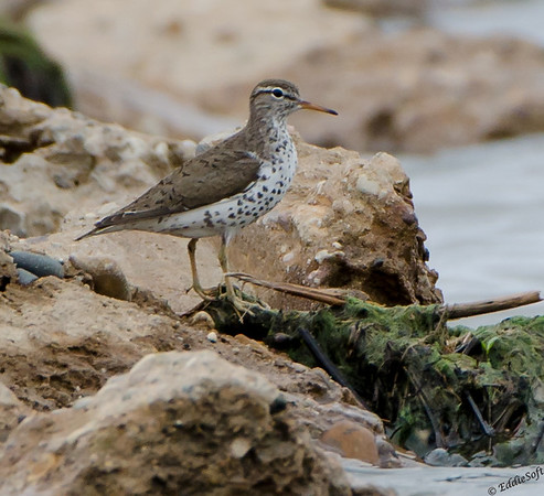 Spotted Sandpiper shot at Emiquon National Wildlife Refuge on May 20th, 2017