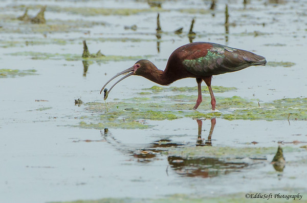 White-Face Ibis found at Emiquon National Wildlife Refuge, Havana IL in May 2018