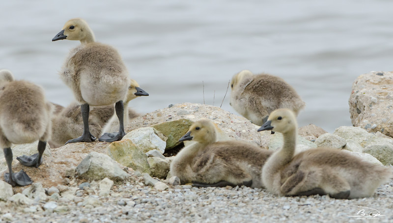Canada Geese found at Emiquon National Wildlife Refuge in May 2017