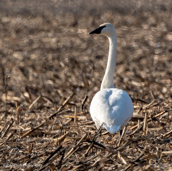 Trumpeter Swans found in field outside Canton, IL in December 2020