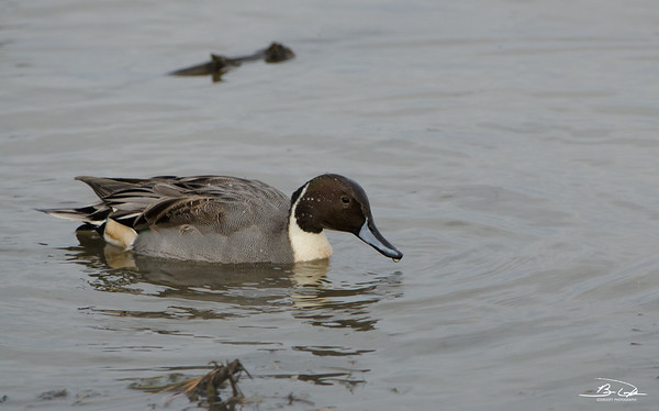 Northern Pintail found at Emiquon National Wildlife Refuge in November 2017