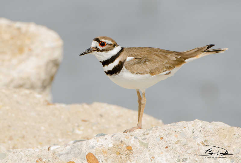 Killdeer found at Emiquon National Wildlife Refuge in April 2017