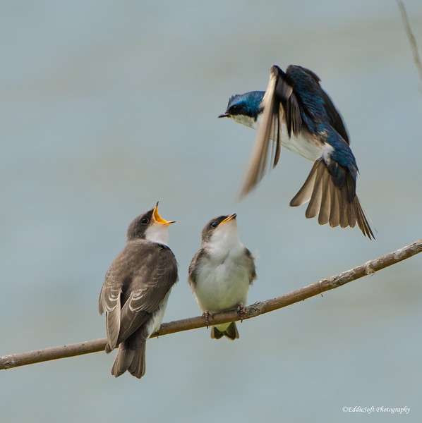 American Tree Swallow found at Chautauqua National Wildlife Refuge in July 2017