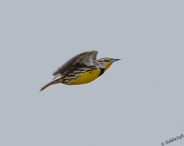 Eastern Meadowlark found at Emiquon National Wildlife Refuge in April 2018