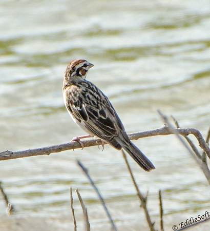 Lark Sparrow found at Chautauqua National Wildlife Refuge in July 2017