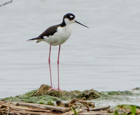 Black-Necked Stilt Shot at Emiquon on May 20th,. 2017