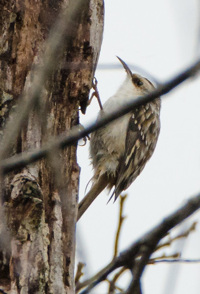 Brown Creeper found on lot in Brimfield, IL in November 2020