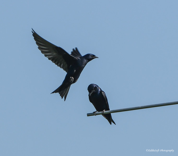 Purple Martin found at Weldon Springs State Park, Clinton IL in June 2016