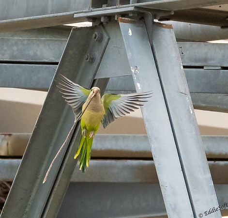 Monk Parakeet found at Elmhurst, IL substation in March 2021