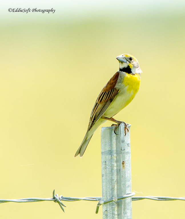 Dickcissal found at Midewin National Tallgrass Prairie, Wilmington IL in May 2016