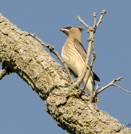 Cedar Waxwing found at Glacial Park Conservation Area in McHenry County, IL in September 2017