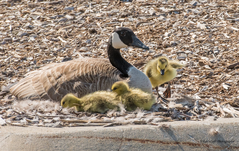Canada Goose and Goslings found in University of Illinois campus in April 2018
