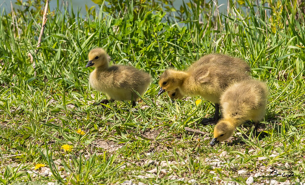 Canada Goose and Goslings found at Kaufman Lake in Champaign, IL in April 2018