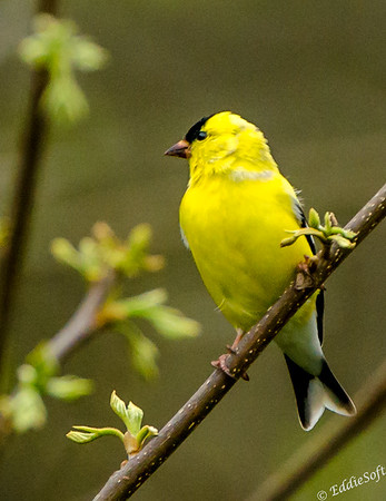 American Goldfinch found on Brimfield lot in May 2018