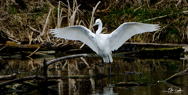 Great Egret found at Widewaters near Joliet, IL in April 2018