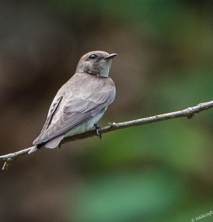Northern Rough-Winged Swallow at Starved Rock State Park, Illinois May 2015