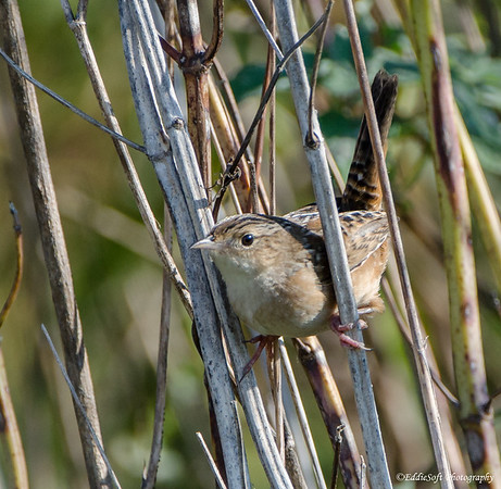 Sedge Wren found at Glacial Park Nature Preserve, McHenry County, IL September 2017