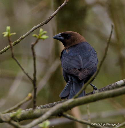 Brown-Headed Cowbird found on Brimfield IL Lot in May 2018