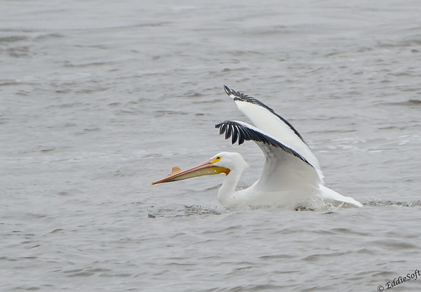 American White Pelican shot in Alton IL in March 2014