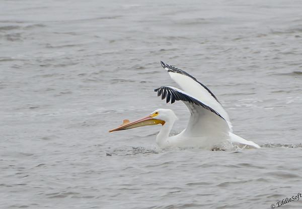 American White Pelican shot in Alton IL in March 2014