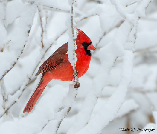 Northern Cardinal found on Brimfield Lot in March 2018
