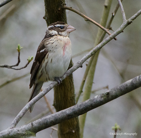 Rose-Breasted Grosbeak found on Brimfield Lot in May 2018