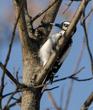 Hairy Woodpecker found on lot in Brimfield 11/15/201