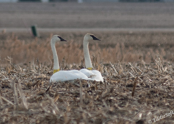 Banded Trumpeter Swans located in Elmwood IL March 2014