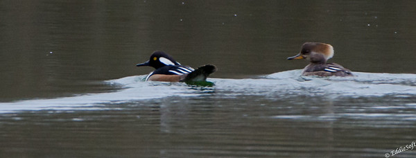 Hooded Merganser located at Widewaters near Joliet, IL April 2018