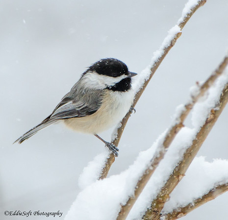 Black-Capped Chickadee found on Brimfield Lot in March 2018