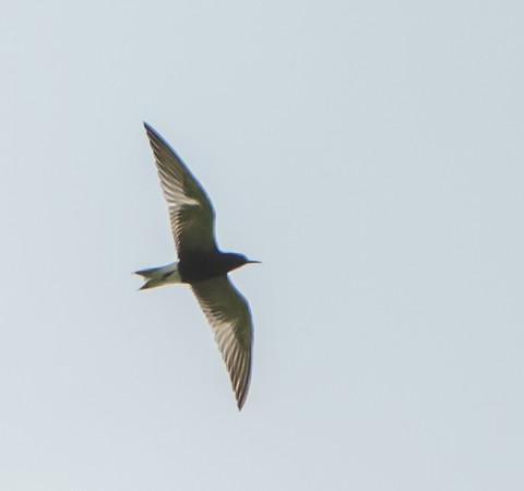 Black Tern Shot at Goose Lake on the Hebron Bike Trail