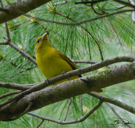 Summer Tanager Shot at Starved Rock May 2015