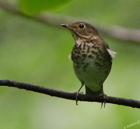 Swainson's Thrush found at Starved Rock State Park, IL May 2015